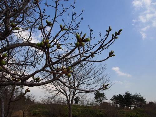budsofcherrytree.jpg