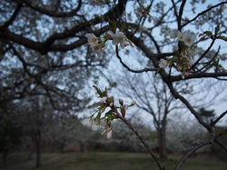 my favorite cherry tree_4.jpg