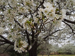my favorite cherry tree_8.jpg