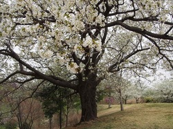 my favorite cherry tree_9.jpg