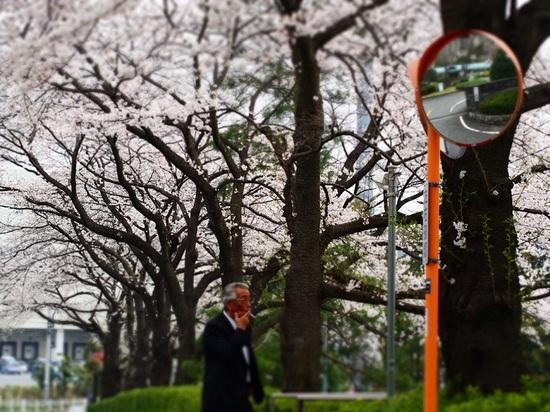 sakuranamiki_1.jpg