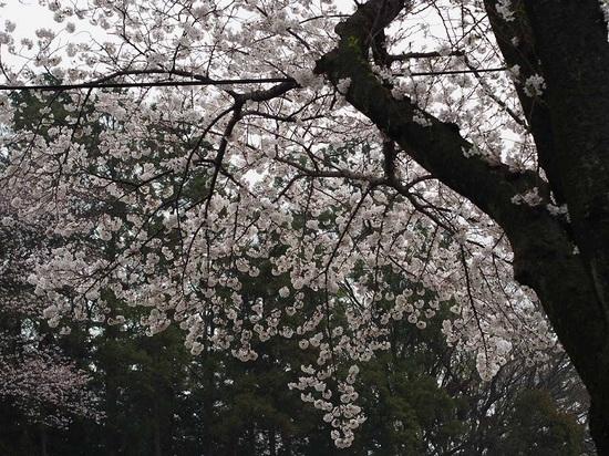 sakuranamiki_7.jpg