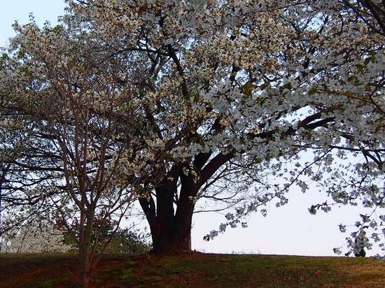 my favorite cherry tree_1.jpg