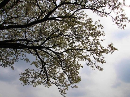 my favorite cherry tree_10.jpg