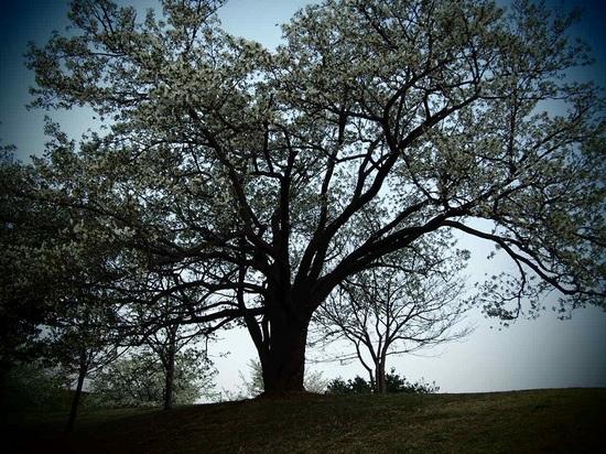 my favorite cherry tree_3.jpg