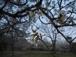 my favorite cherry tree_4.jpg