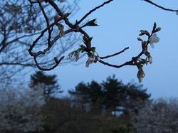 my favorite cherry tree_5.jpg