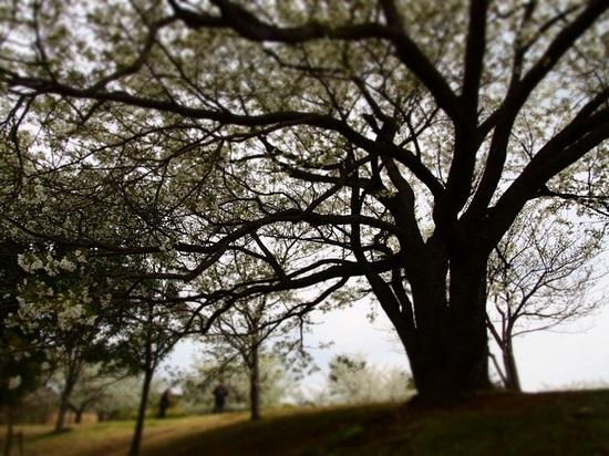 my favorite cherry tree_6.jpg