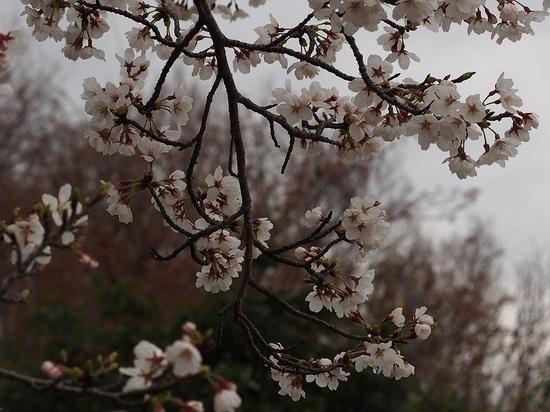 someiyosino_10.jpg