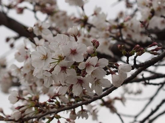 someiyosino_14.jpg