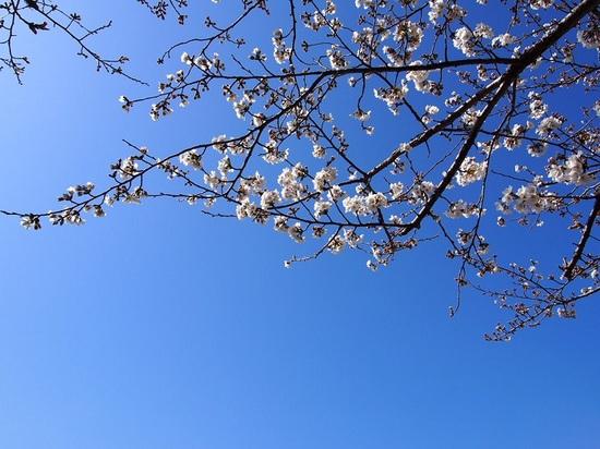 someiyosino_24.jpg